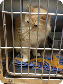 Domestic Mediumhair Cat for adoption in Ogden, Utah - Scarlet