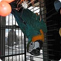 Adopt A Pet :: CiCi - Neenah, WI