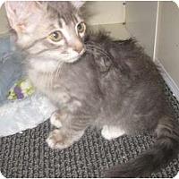 Adopt A Pet :: BlueFox - Dallas, TX