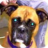 Adopt A Pet :: Shyla - Sunderland, MA