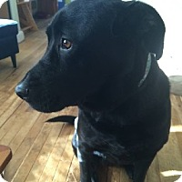 Labrador Retriever Mix Dog for adoption in Birmingham, Michigan - MOLLY