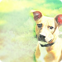 Adopt A Pet :: Champ - Durham, NC
