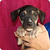 Adopt A Pet :: Marley - Oviedo, FL