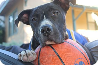 Pit Bull Terrier/Labrador Retriever Mix Dog for adoption in Tracy, California - Jaba-ADOPTED!