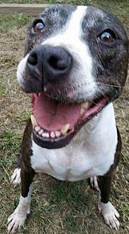Labrador Retriever/Pointer Mix Dog for adoption in Vancouver, Texas - Shasta