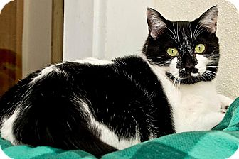 Domestic Shorthair Cat for adoption in Cashiers, North Carolina - Kesha