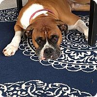 Boxer Dog for adoption in Hurst, Texas - Ferdinand