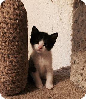 Domestic Shorthair Kitten for adoption in Colorado Springs, Colorado - Pounce