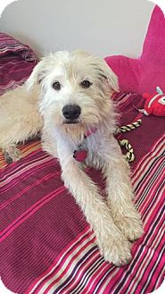 Labradoodle/Wheaten Terrier Mix Dog for adoption in Rocky Hill, Connecticut - Sugar