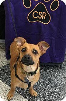 Dachshund Mix Dog for adoption in North Richland Hills, Texas - Belle