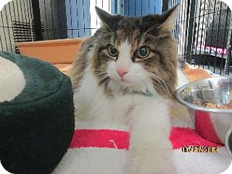 Maine Coon Cat for adoption in Queenstown, Maryland - Marty