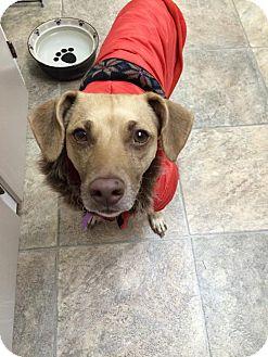 Chihuahua/Italian Greyhound Mix Dog for adoption in Duchess, Alberta - Cynthia