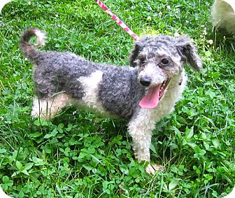 Poodle (Miniature) Dog for adoption in Bloomington, Indiana - Simon