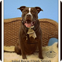 American Bulldog/Labrador Retriever Mix Dog for adoption in Brooksville, Florida - Jeter