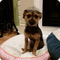 Yorkie, Yorkshire Terrier Dog for adoption in McKinney, Texas - Tinkerbell