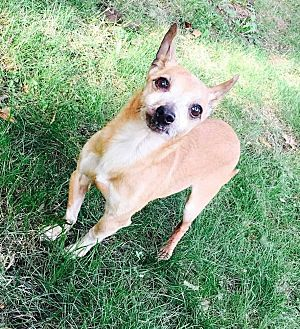 Chihuahua Mix Dog for adoption in South Bend, Indiana - Harry
