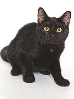 Domestic Shorthair Kitten for adoption in Gloucester, Virginia - PEMBROKE