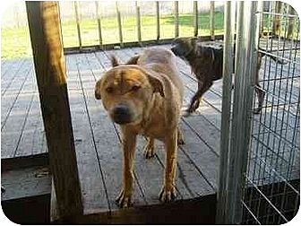 American Pit Bull Terrier/Chow Chow Mix Dog for adoption in Wylie, Texas - Duelly