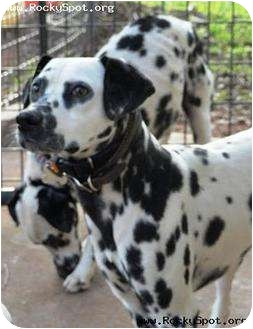 Dalmatian Dog for adoption in Newcastle, Oklahoma - Freckles