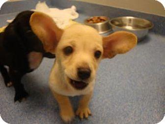 Labrador Retriever Mix Puppy for adoption in Gainesville, Florida - Hagrid
