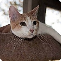 Domestic Shorthair Cat for adoption in New Port Richey, Florida - Dakota