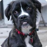 Adopt A Pet :: Shelby - Sacramento, CA
