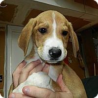 Adopt A Pet :: Snoopy - South Jersey, NJ
