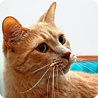 Domestic Shorthair Cat for adoption in Tucson, Arizona - Tigger