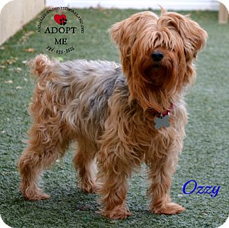 westmoreland terrier youngwood pa silky terrier mix meet ozzy a dog for 3706