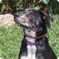 Adopt A Pet :: Millie - Elmwood Park, NJ