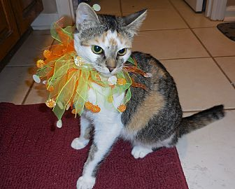 Domestic Shorthair Cat for adoption in Nashville, Tennessee - Kamy