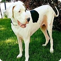 Adopt A Pet :: Moose - Lakewood, CO