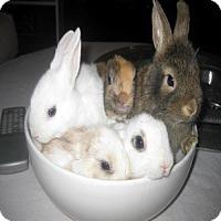 Adopt A Pet :: Simba - Los Angeles, CA