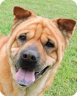 Shar Pei Dog for adoption in Nashville, Indiana - Jeanne