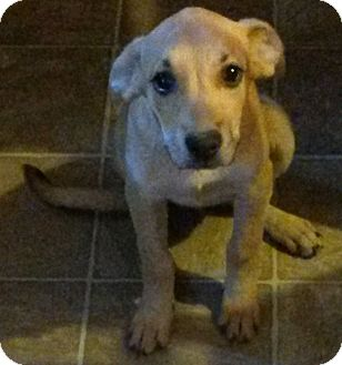 Golden Retriever/Labrador Retriever Mix Puppy for adoption in Leming, Texas - Cheese
