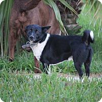 Corgi/Terrier (Unknown Type, Medium) Mix Dog for adoption in Seguin, Texas - Gizmo