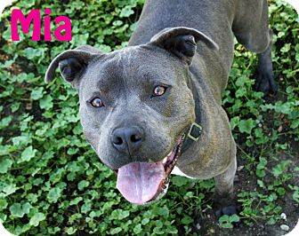 American Staffordshire Terrier/American Pit Bull Terrier Mix Dog for adoption in Los Olivos, California - Mia