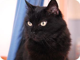 Domestic Longhair Cat for adoption in Winchendon, Massachusetts - Clara