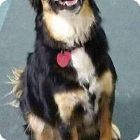 Border Collie Dog for adoption in Mount Gilead, Ohio - Ladybug