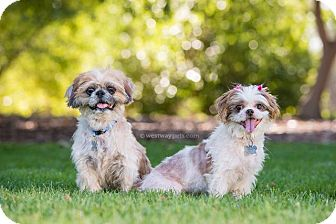 Maltese Dog for adoption in El Cajon, California - Lilo