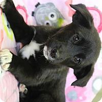 Australian Shepherd/Border Collie Mix Puppy for adoption in Red Bluff, California - Kix