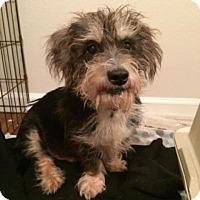 Adopt A Pet :: Shortie - Austin, TX