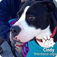Adopt A Pet :: Cindy - Sarasota, FL