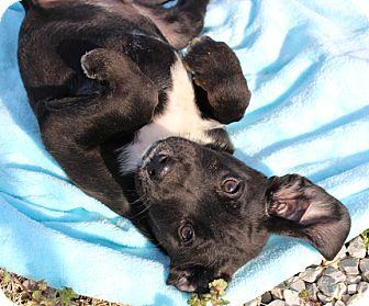 Labrador Retriever/Australian Shepherd Mix Puppy for adoption in Harrisonburg, Virginia - Grits
