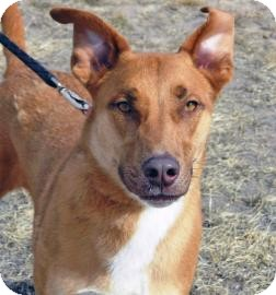 Shepherd (Unknown Type) Mix Dog for adoption in Cheyenne, Wyoming - Raja