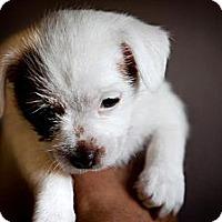 Adopt A Pet :: Cappuccino - Oceanside, CA