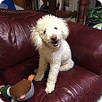 Adopt A Pet :: Toby Maquire - Plano, TX