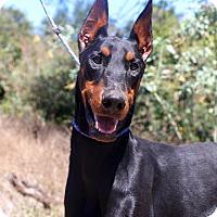 Adopt A Pet :: Helix - Fillmore, CA