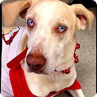 Adopt A Pet :: Boo - Johnson City, TX