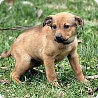 Adopt A Pet :: Ivy - Windham, NH